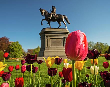 Toby McGuire - Public Garden Red Tulip Boston MA