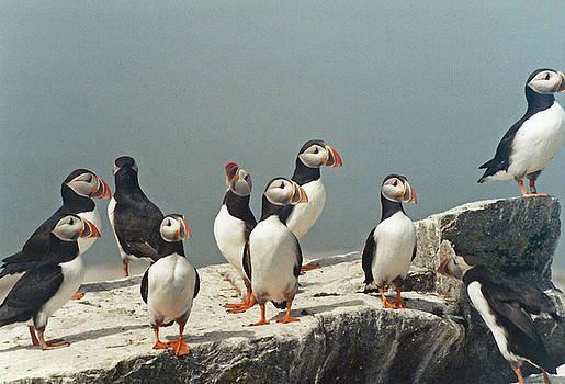 Puffin Flock on Machias Seal Island, Maine by Bob See