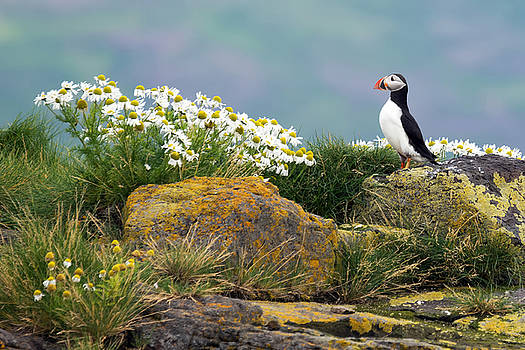 Puffin by Jay Lee