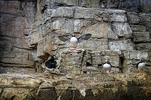 Puffin Show Off by Darcy Michaelchuk