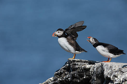Atlantic Puffins - 8775-A,S by Wally Hampton