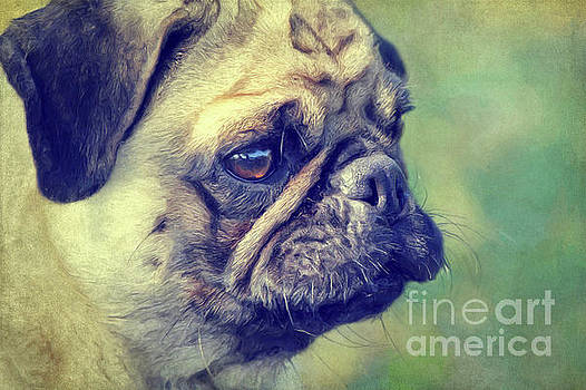 Pug by Angela Doelling AD DESIGN Photo and PhotoArt