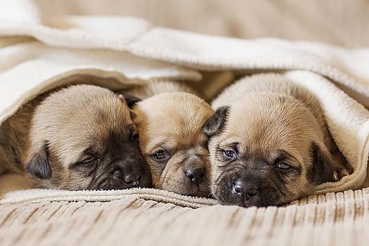 Pug Puppies Cuddling by Andrea Borden