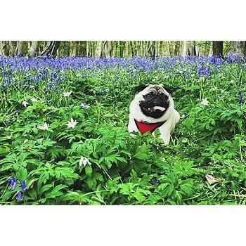 #pugstagram #pugsofinstagram #bluebell by Natalie Anne