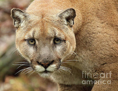 Puma Male Approaching by Max Allen