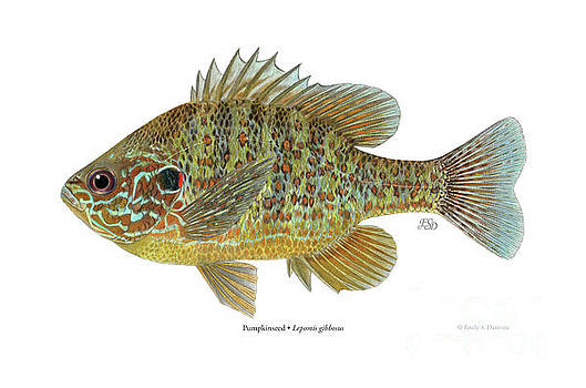 Pumpkinseed sunfish by Emily Damstra