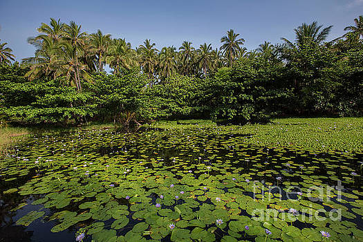 Punaluu Lilly Pond 10 by Daniel Knighton