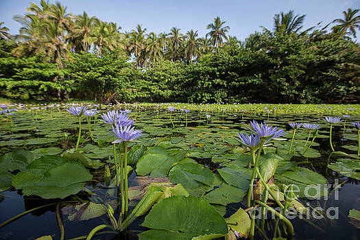 Punaluu Lilly Pond 11 by Daniel Knighton
