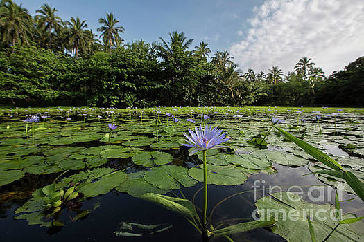 Punaluu Lilly Pond 9 by Daniel Knighton