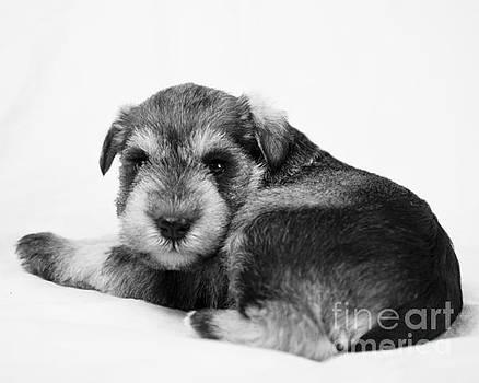 Puppy 3 by Serene Maisey