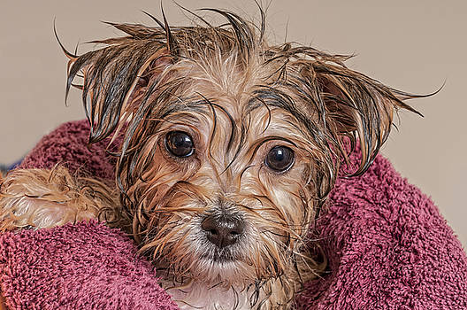 Puppy Getting Dry After His Bath by Jim Vallee