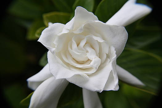 Pure White by Cheri Carman
