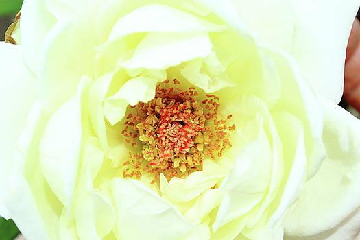 Pure White - Simply by Lon Watkins