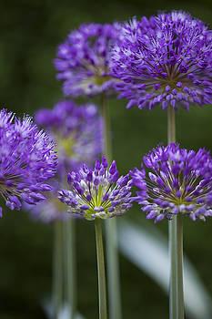 Purple Alliums by Gillian Dernie