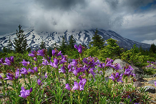 Purple and Mount St. Helens by Marie Leslie