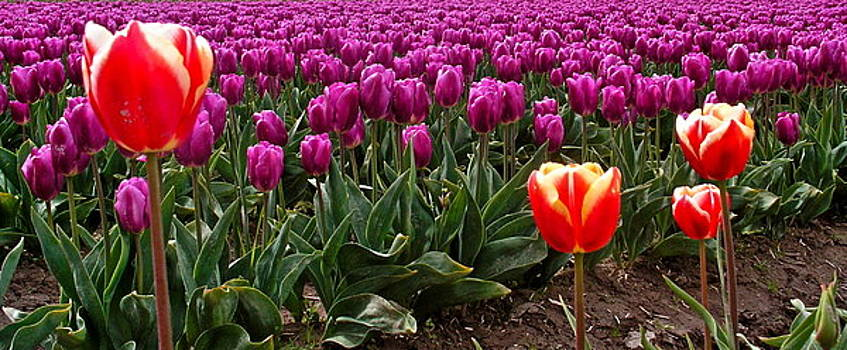 Purple and Red Tulips by Caroline Reyes-Loughrey