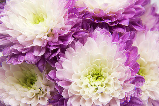 Purple and White Mums by Cindi Ressler