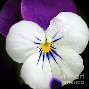 Purple and White Pansy by Karen Adams