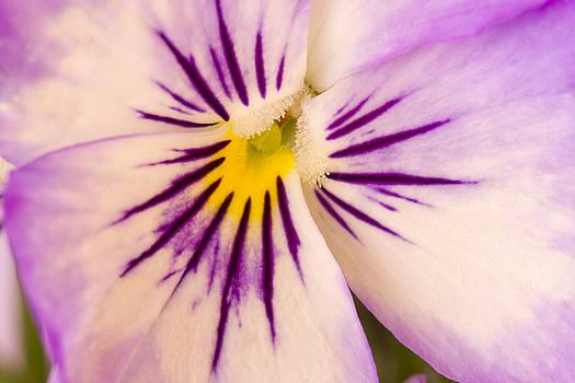 Sandra Foster - Purple And White Pansy Macro