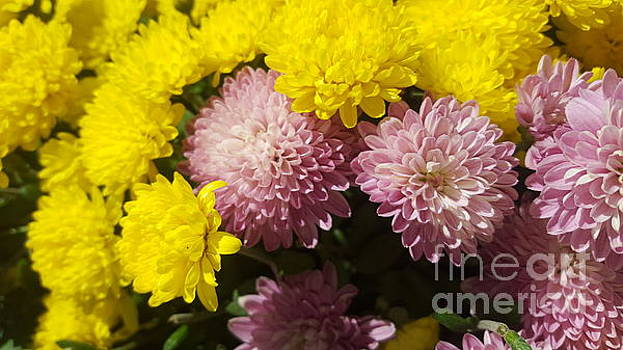 Purple And Yellow Mums Flowers by Michelle Jacobs-anderson