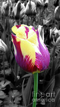 Purple and Yellow Tulip by E B Schmidt