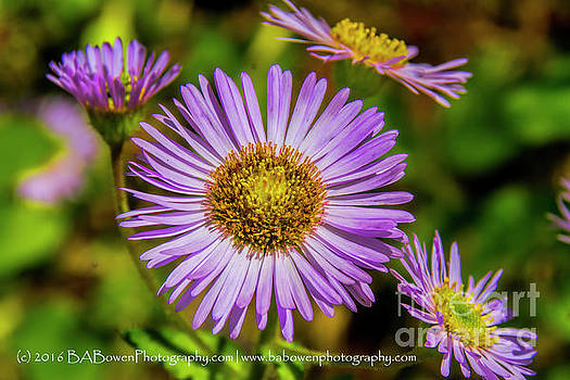 Barbara Bowen - Purple Asters
