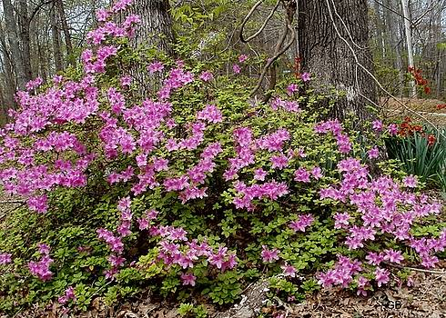 Purple Azaleas by Glenda Barrett