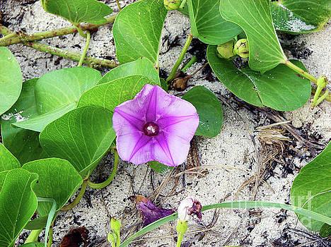 Purple Beach Flower by Leara Nicole Morris-Clark