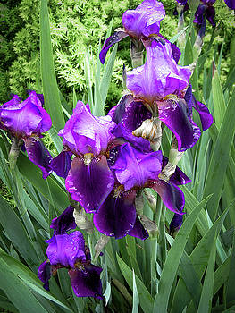 Purple Bearded Irises by Penny Lisowski