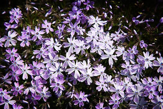 Milena Ilieva - Purple Beauties