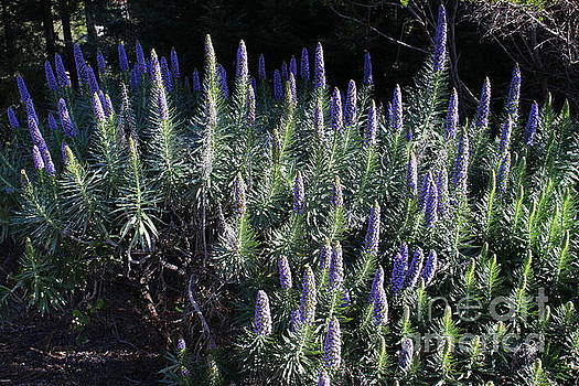 Purple Blooms by Katherine Erickson