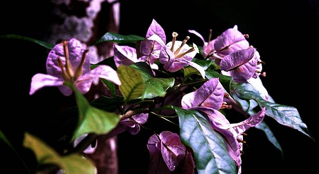 Purple Bougainvilleas by L L