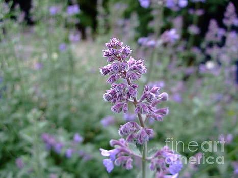 Purple Cat Mint by Julia Underwood
