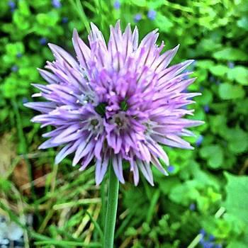 Purple Chive Flower. #purple #chive by Amanda Richter