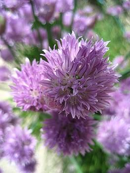 Purple Chives by Sheryl Burns