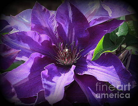Purple Clematis in Full Bloom by Dora Sofia Caputo Photographic Art and Design