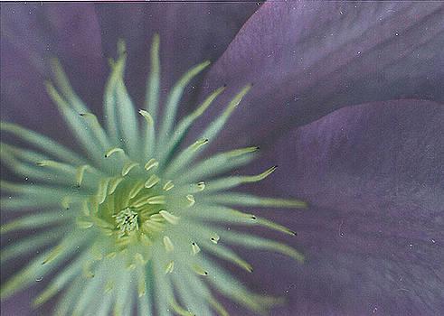 Purple Clematis by Jackie Sampers-Kilby