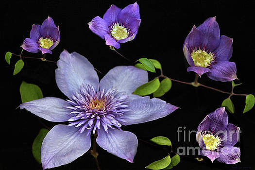 Sandra Huston - Purple Clematis - Queen of the Vines