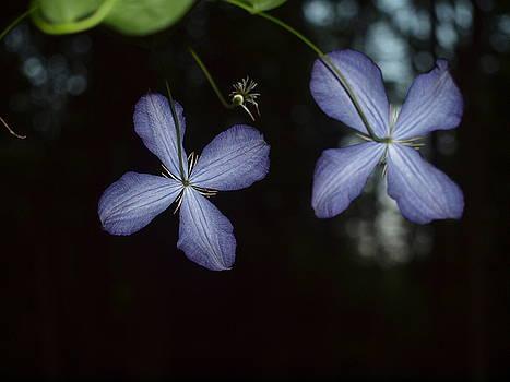 Tammy Bullard - Purple Clematis