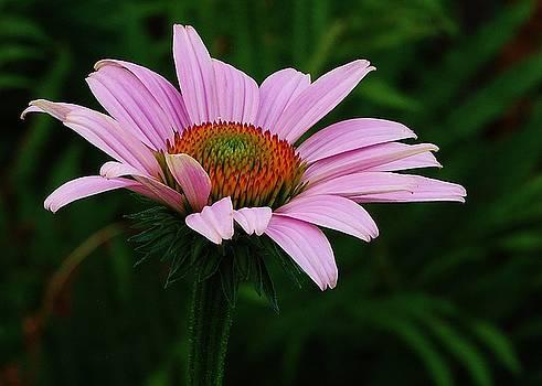Joy Bradley - Purple Cone Flower
