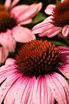 Purple Cone Flowers by Amanda Kiplinger