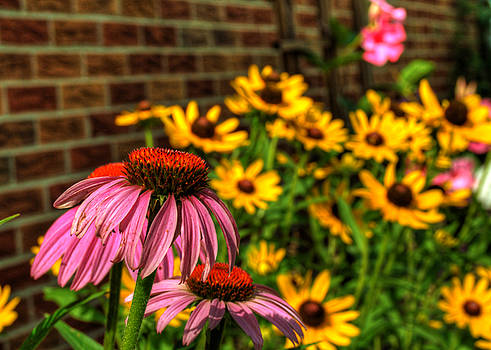 Purple Cone Flowers and Black-eyed Susans by Darin Williams