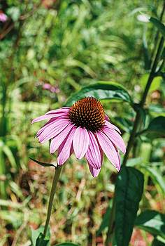 Purple Coneflower by Cheryl Martin