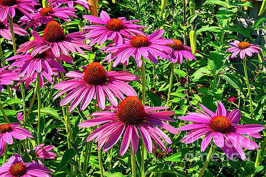 Purple Coneflowers by Joe Geraci