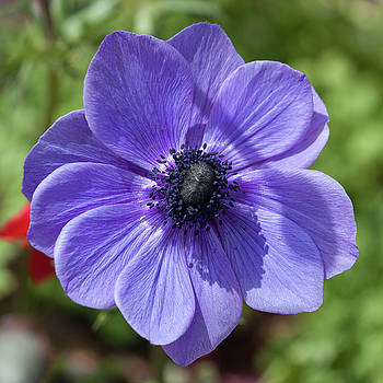Purple Cosmos by Suzanne Gaff