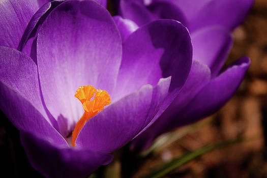 Purple Crocus by Leah Dore