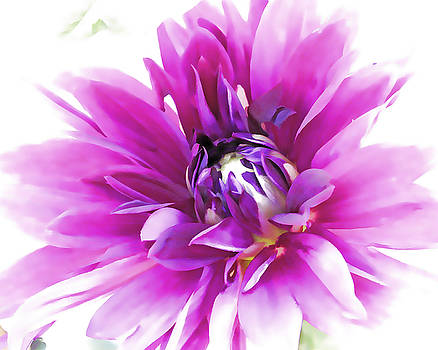 Purple Dahlia by Beth Fox