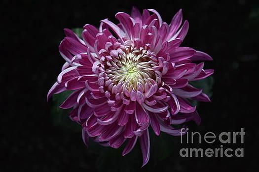 Purple Dahlia by Jeannie Rhode