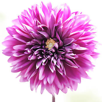Purple Dahlia Wide Open by Beth Fox