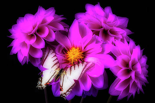 Purple Dahlias And Butterfly by Garry Gay
